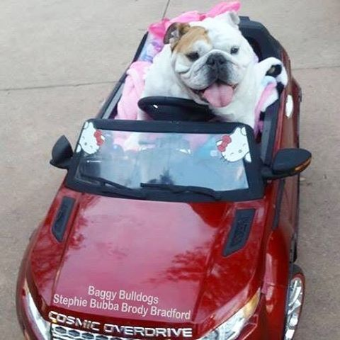 Idea By Maysa Chachamovits On Bulldoggies Bulldog Bulldog Funny