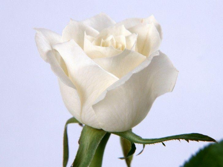 Best Hd White Rose Desktop Flowers Desktop Wallpaper White Rose Flower White Roses Wallpaper Flower Pictures