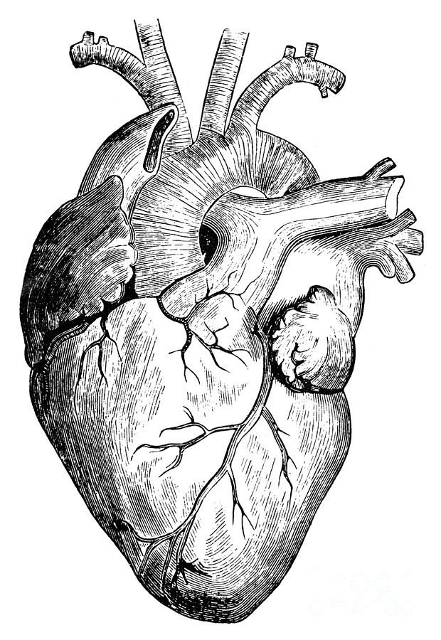 19th Century Photograph Human Heart By Granger Work Projects In