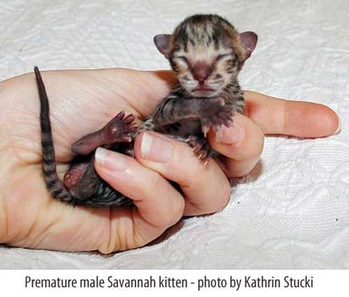 Premature Savannah Kitten So Tiny Animals