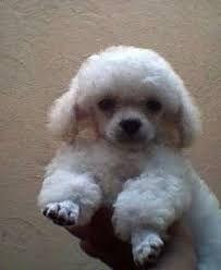 Cortes de pelo a french poodle