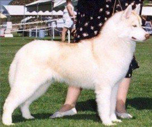 Colors Of Siberian Huskies Pupps Pinterest Husky Dogs And Red