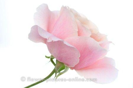 Single Pink Roses Google Search Flora I Like Pink Roses Rose