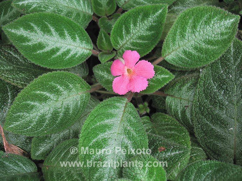 Episcia Cupreata Manaus Native To Brasil Plantas Exoticas