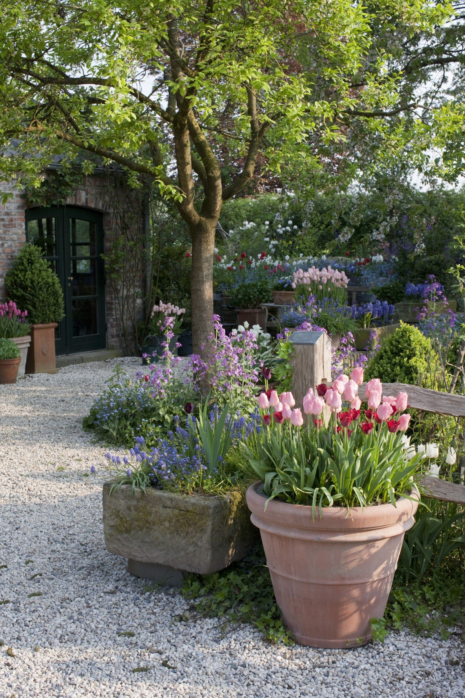 Photo of Onion flowers in pots under cherry trees (Tulipa, Apricot Beaut