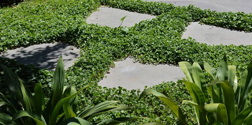 Ground Cover Plants Between Pavers