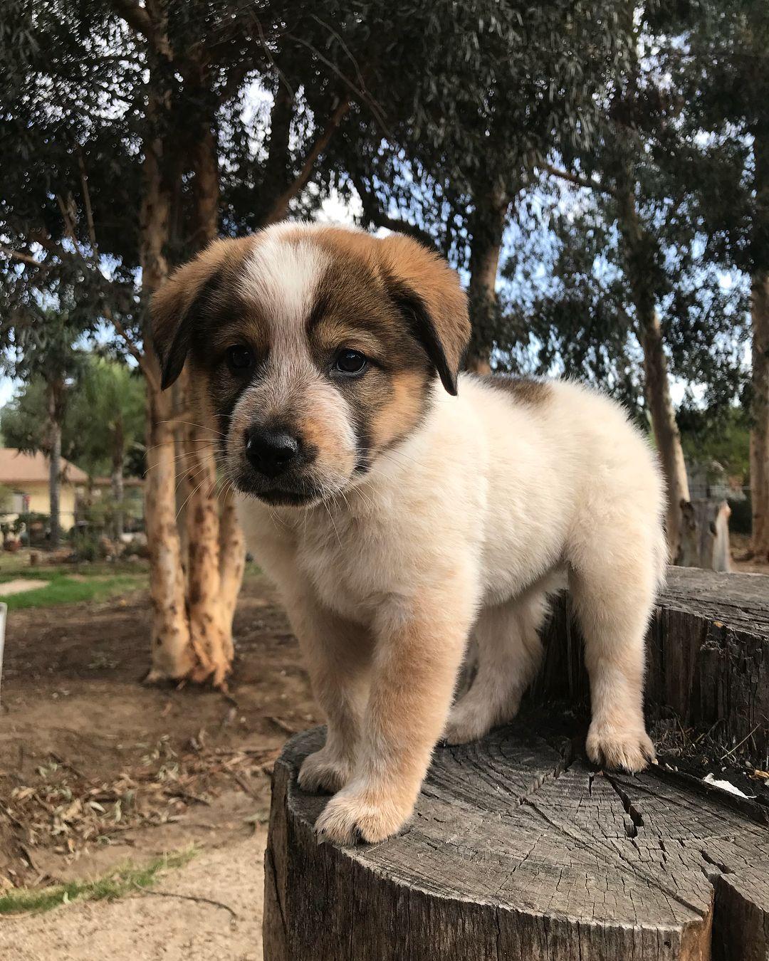 Australian Shepherd & Rottweiler mix named JagerAustralian Shepherd Rottweiler Mix Information