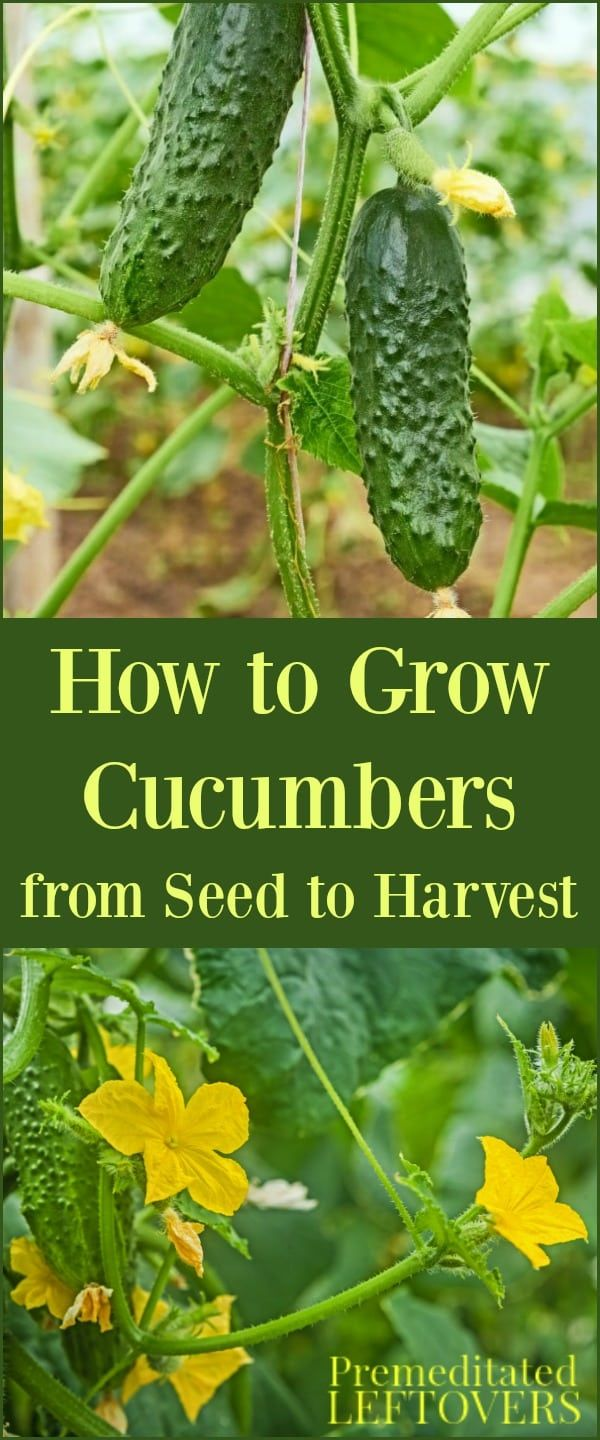 How to care for cucumbers