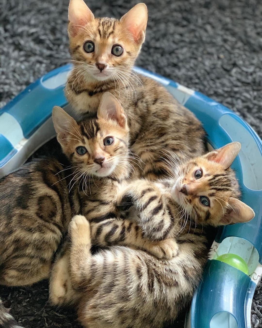 Full house little bengal kittens bengal kitten bengal