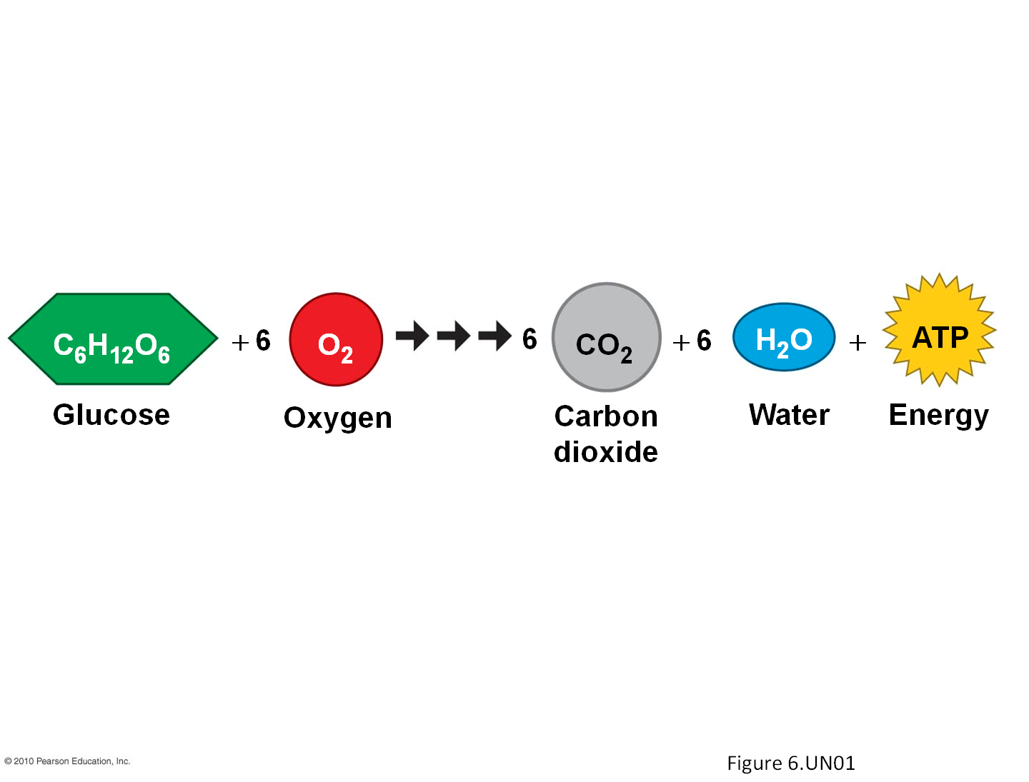 Cellular Respiration Takes in food and uses it to create