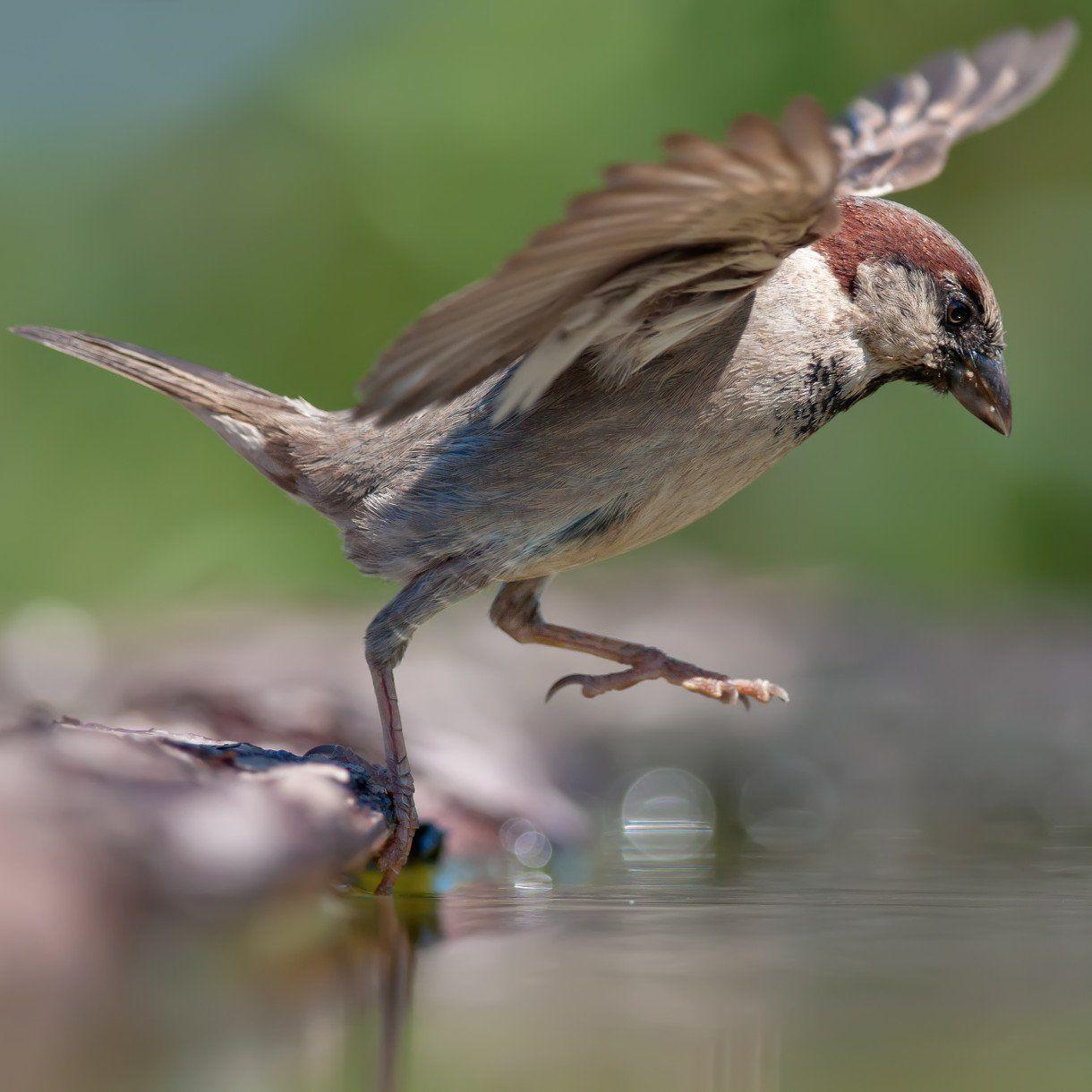 All about the house sparrow spatz raufbold pilger