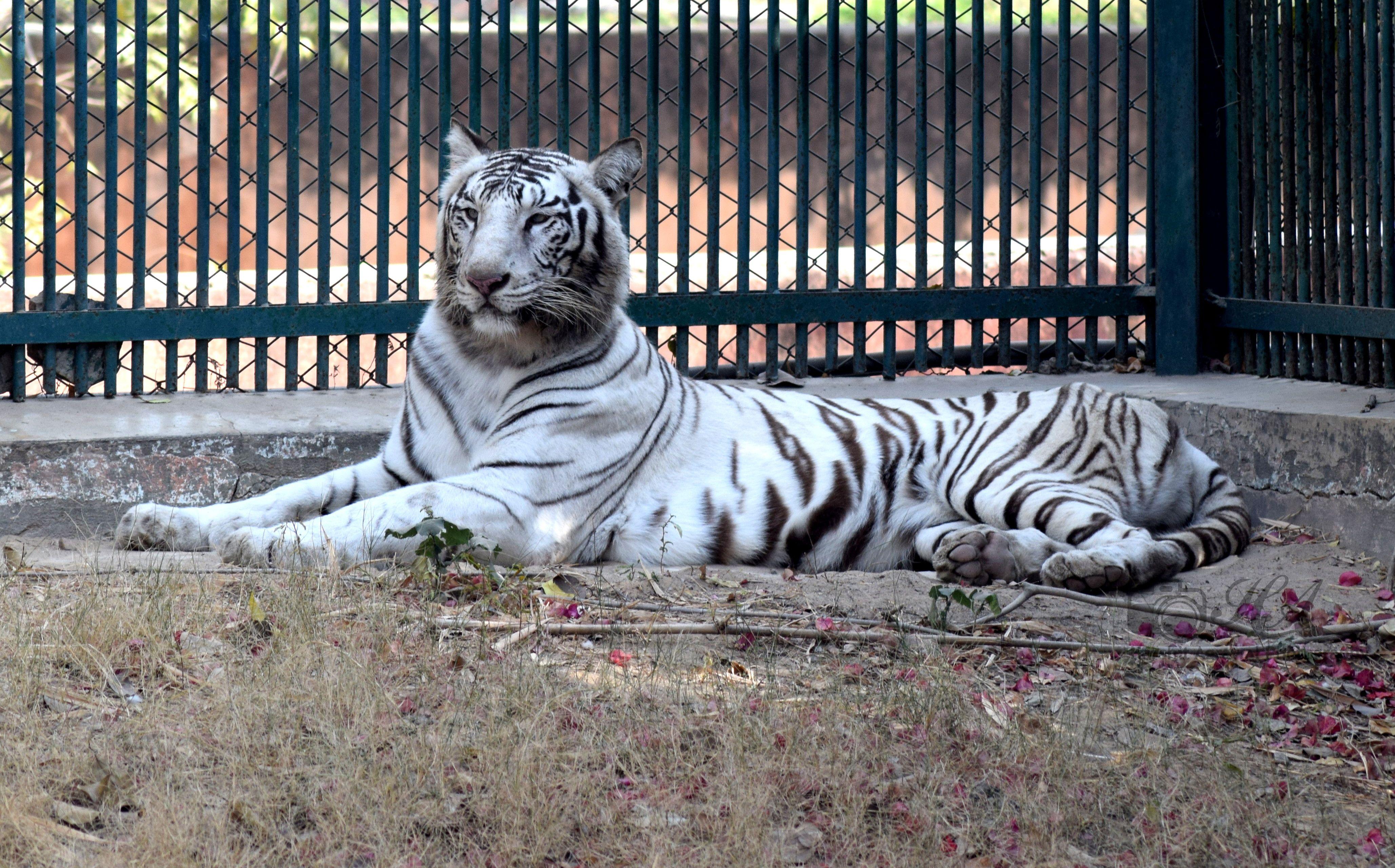White Tiger Wildlife Photography White Tiger Wildlife