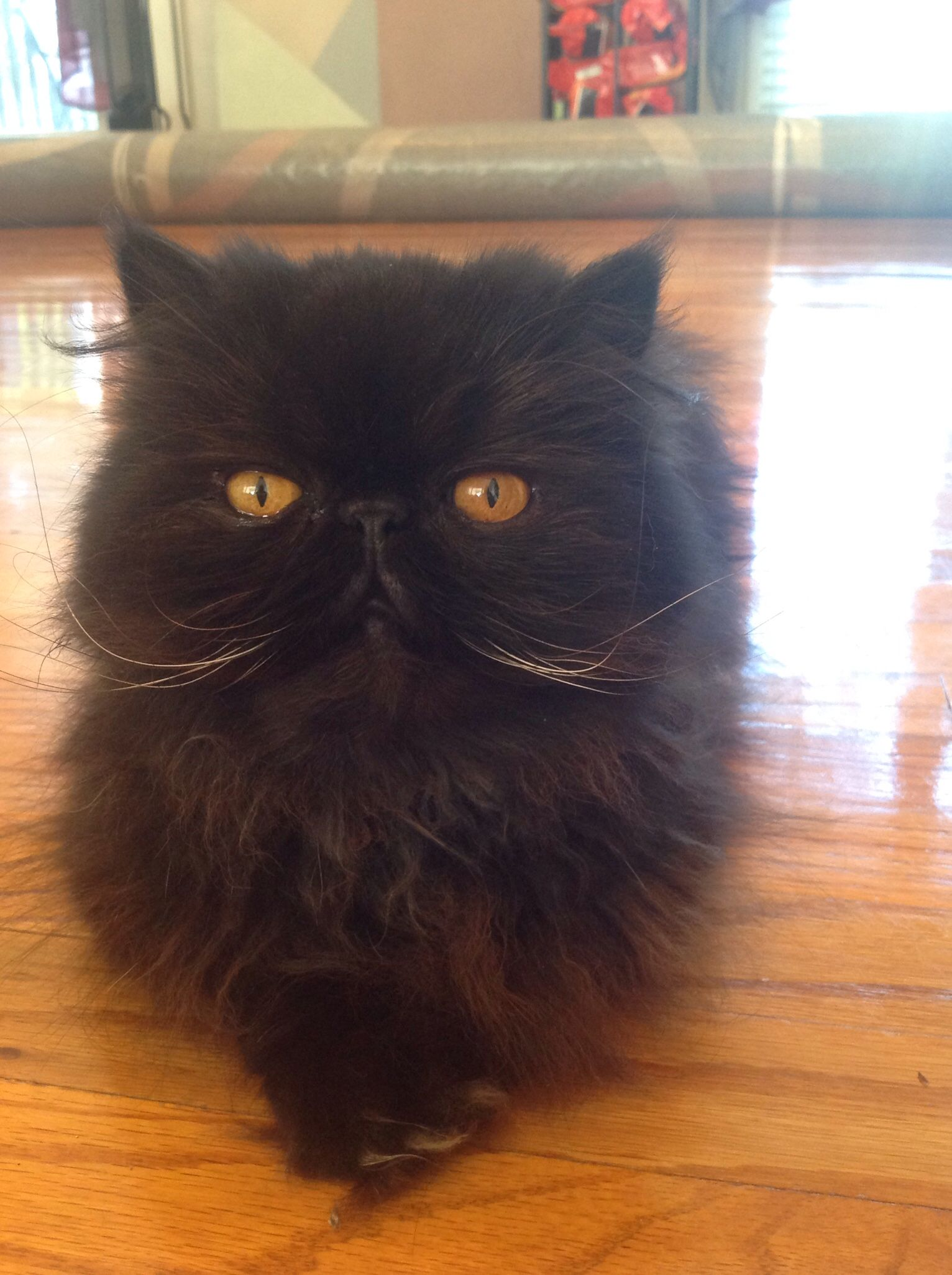 Sammy Black Male Persian Cat Persian Cat Cat Online