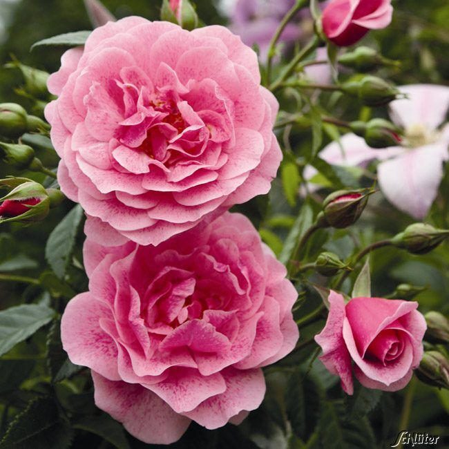 camelot rose fter bl hende kletterrose 39 camelot 39 tr gt s tark gef llte rosa blumen. Black Bedroom Furniture Sets. Home Design Ideas