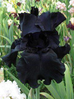 black iris (Nightworld- Lamia)