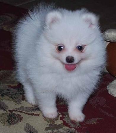 Sehr Liebevoll Weiss Und Braun Zwergspitz Pomeranian Welpen Dogs