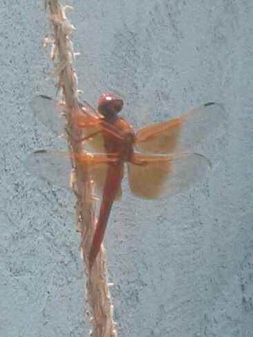 Beautiful dragonfly visiting the pond.