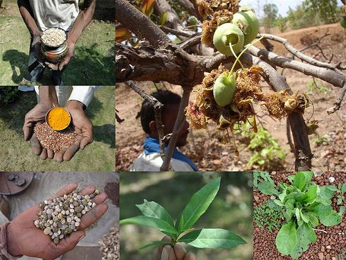 Medicinal Rice Formulations for Diabetes Prevention (TH Group-6) from Pankaj Oudhia's Medicinal Plant Database