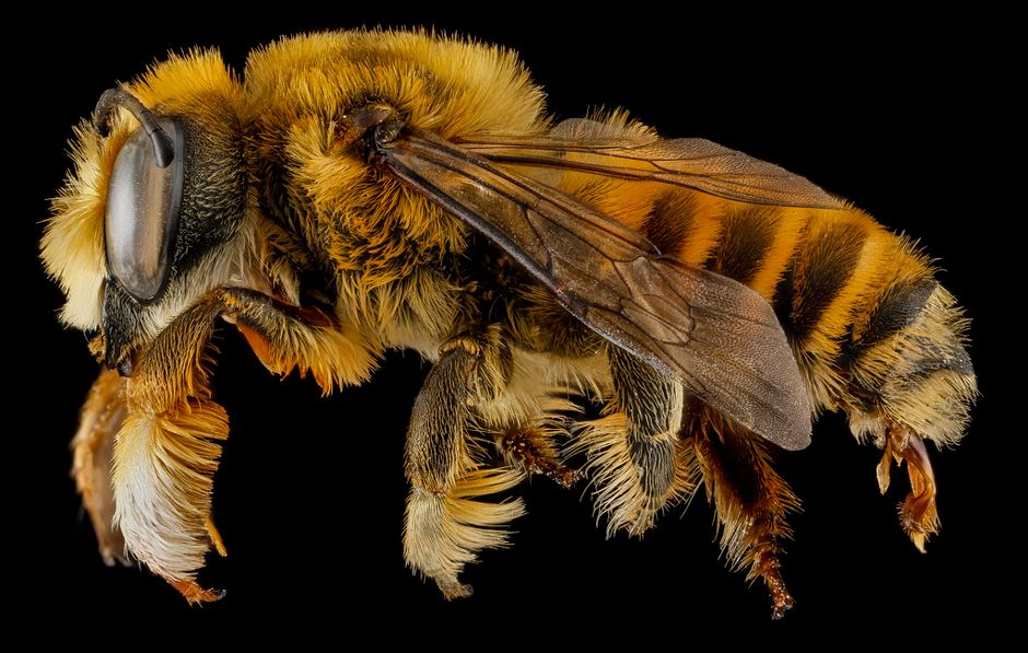 A bee like you've never seen it before ...