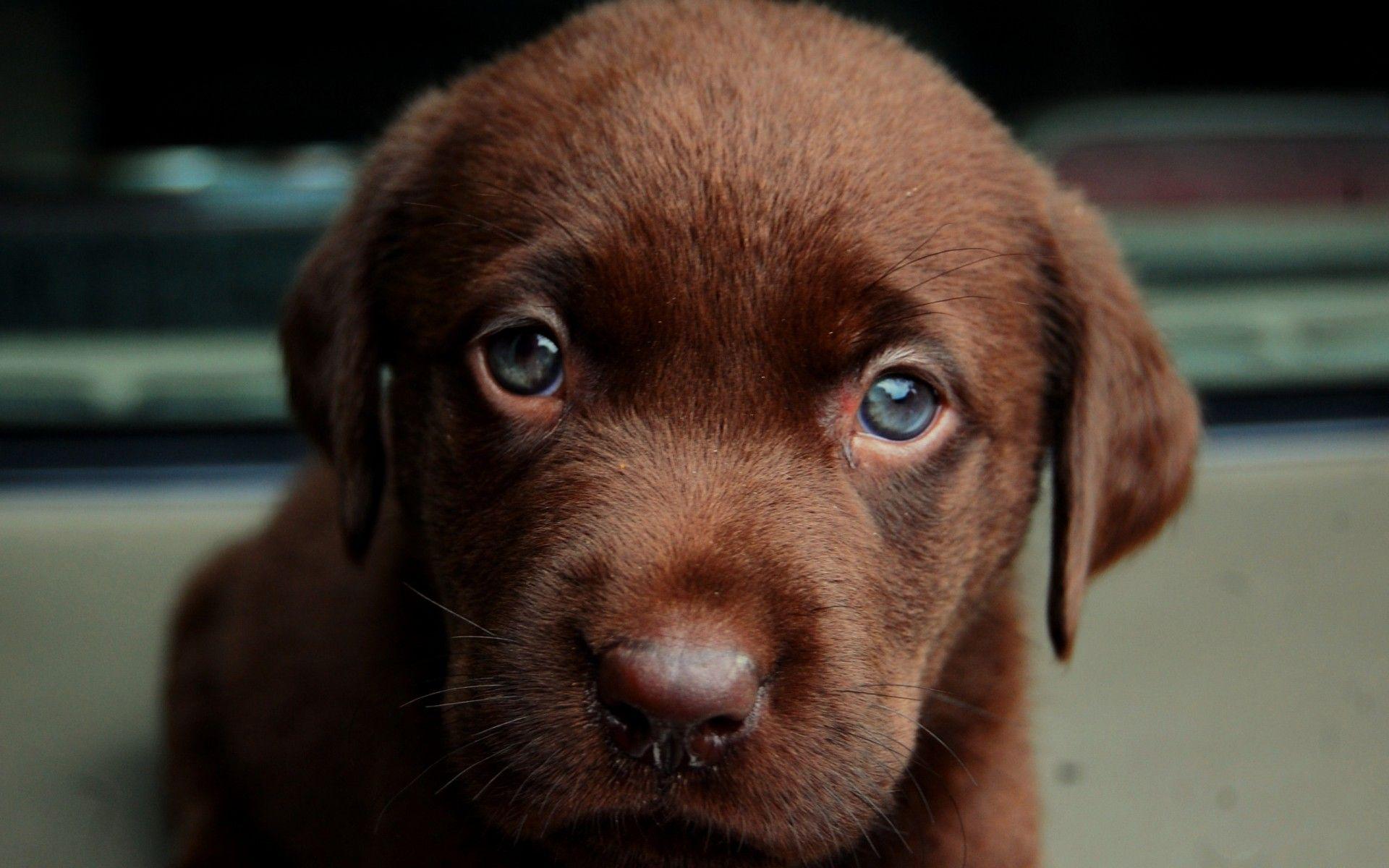 Labrador Retriever Blue Eyes Labrador Retriever Lab