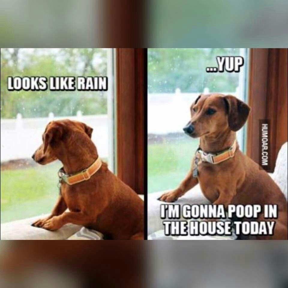 Pin By Debby Walker On Animals Funny Dachshund Dachshund Memes