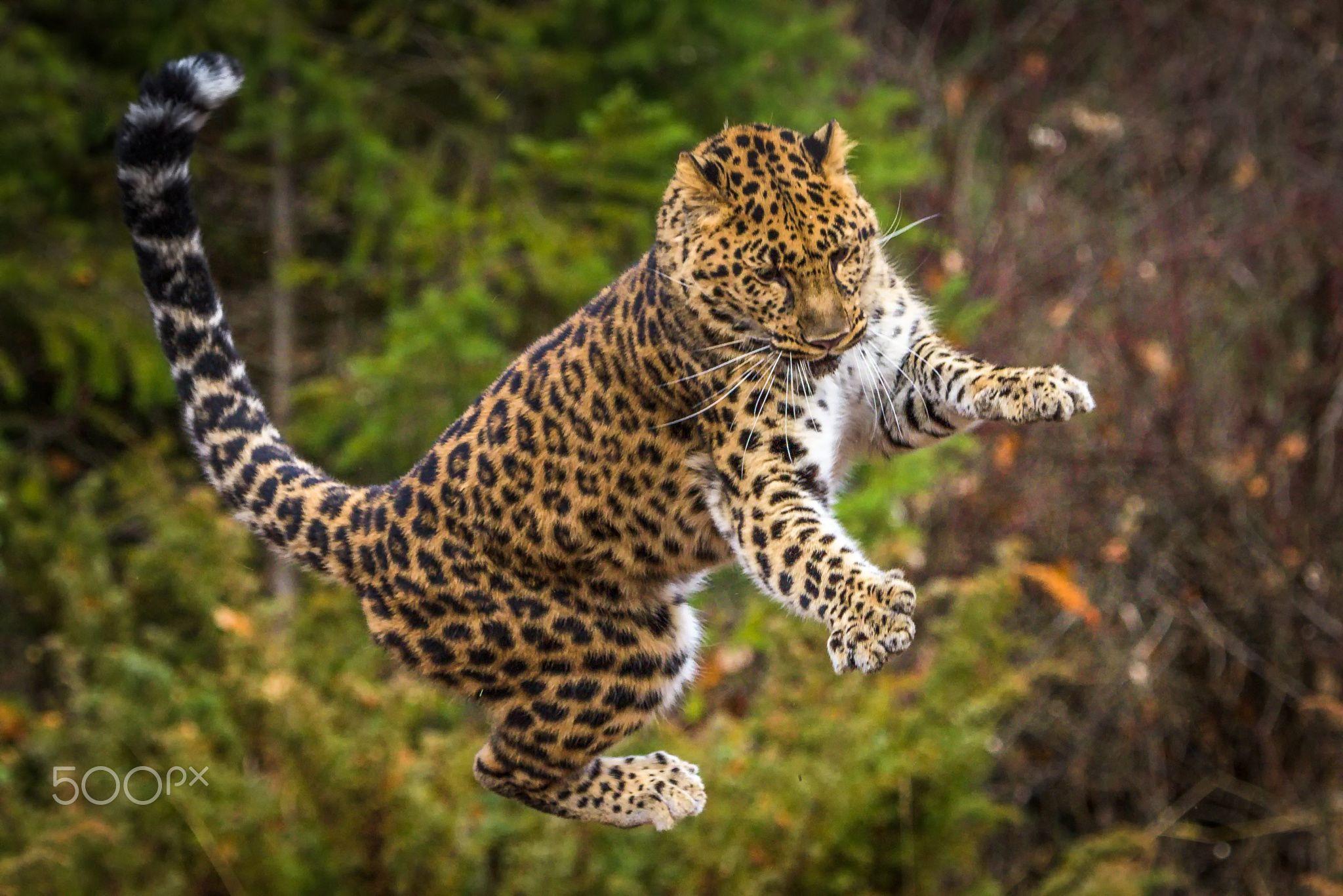 Amur Leopard Falling After Jump At Prey