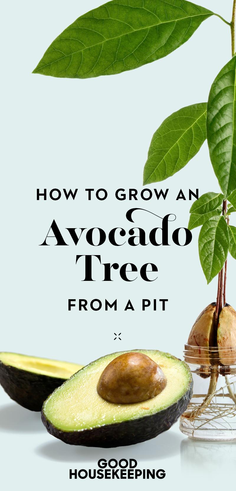 How To Grow An Avocado Tree From An Avocado Pit Grow Avocado Growing An Avocado Tree Avocado Plant