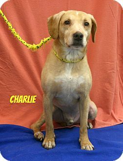 Melbourne Ky Hound Unknown Type Mix Meet Charlie A Dog For Adoption Http Www Adoptapet Com Pet 12487850 Melbourne Kentucky Hound Unknown T With Images Dog Adoption