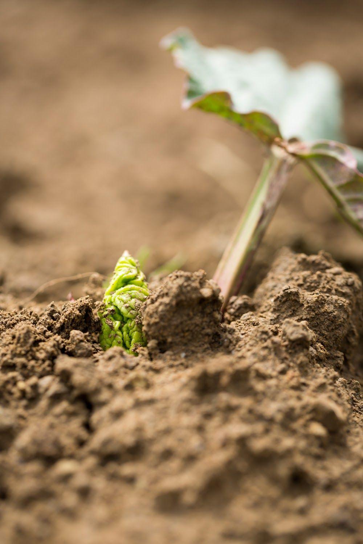 Jetzt gibt's Saures! Während die meisten anderen Gemüsepflanzen noch kräftig wachsen müssen, ist der #Rhabarber schon erntereif! Alles rund um die sauren Stangen sowie leckere Rezepte gibts in der neuen #foodnfarm 2/17!