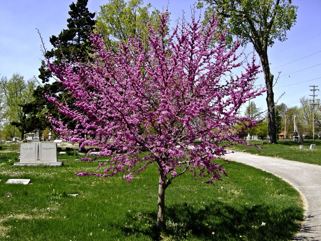 Rosebud Tree Red Bud Tree I By Baq Stock Red Bud Garden Types