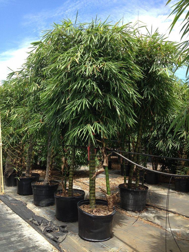 Strange Dwarf Buddha Belly Bamboo Hedge Back Yard Love Bamboo Interior Design Ideas Oteneahmetsinanyavuzinfo