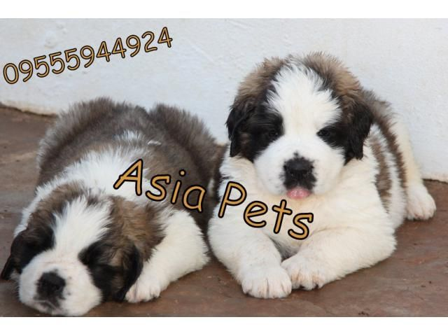 Saint bernard puppy price in ranchi, Saint bernard puppy