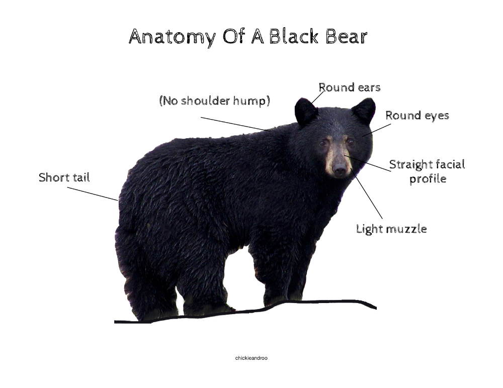 Black Bear Mini Unit Chickie Roo Homeschool Black Bear Mini Units Bear