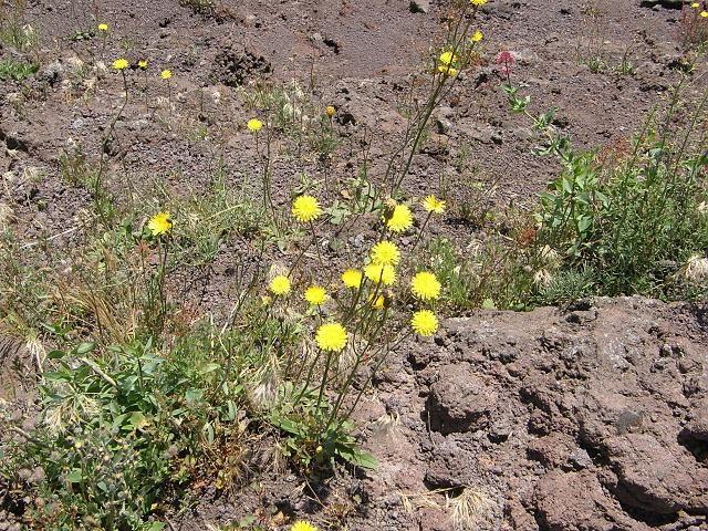 Hieracium... and Valeriana rossa (Centranthus ruber) on lava Vesuvius