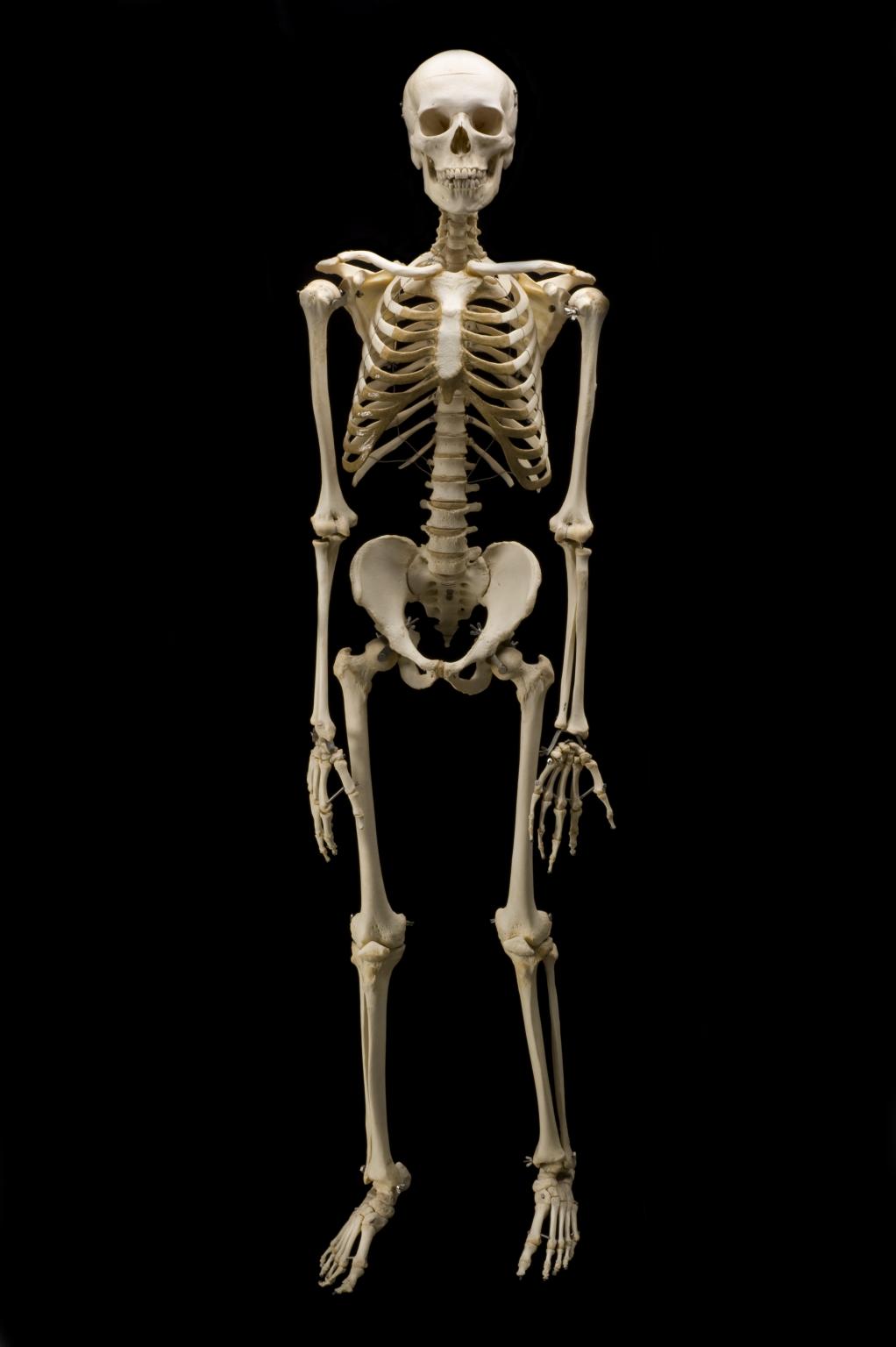 real skeleton - Google Search | Tattoo ideas | Pinterest ...
