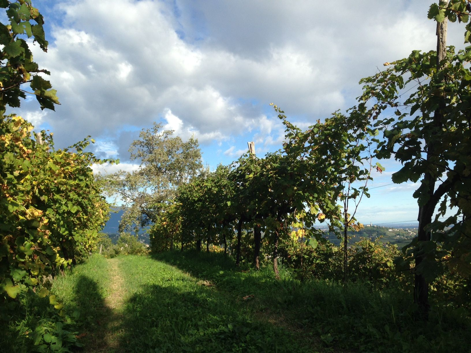 #vigneto #vigna #viti #Natura #autunno2015 #life #story