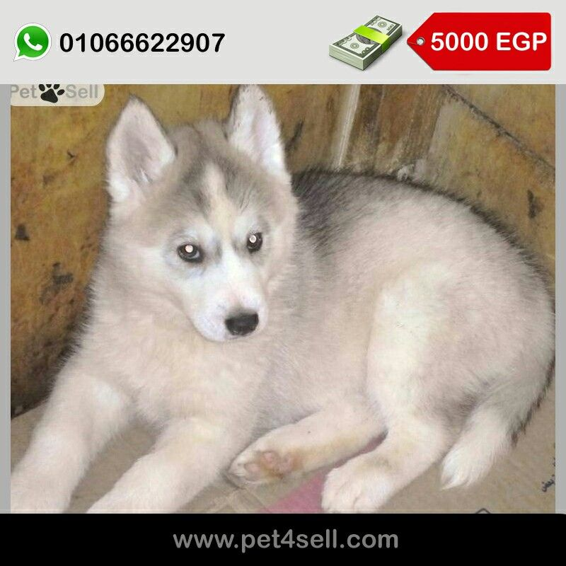 Pure Siberian Husky Puppies Imported Parents Champion