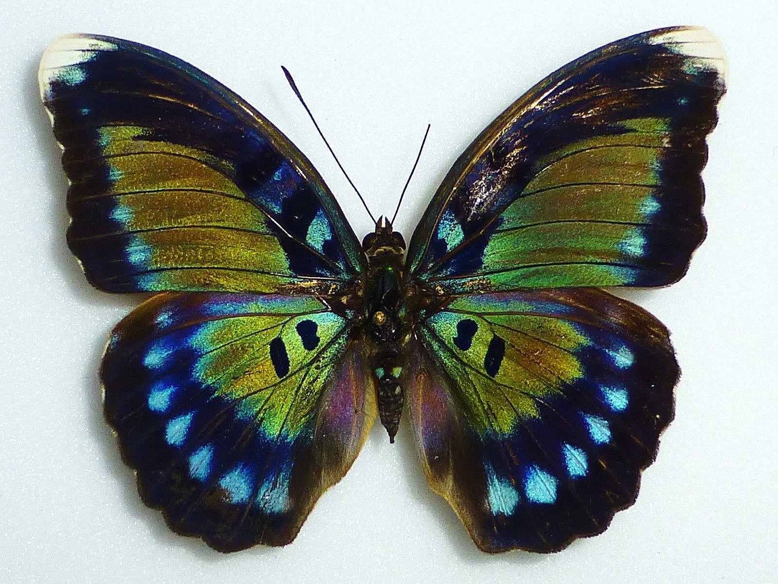 Bebearia Butterfly (Octogramma Female Nymphaliidae Species ...