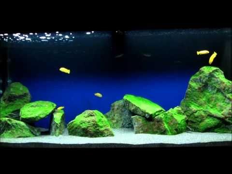 Malawi Mbuna Aquarium 240l Pseudotropheus Saulosi Youtube