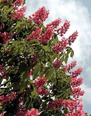 Red chestnut tree the witchs garden pinterest gardens red chestnut tree mightylinksfo Gallery