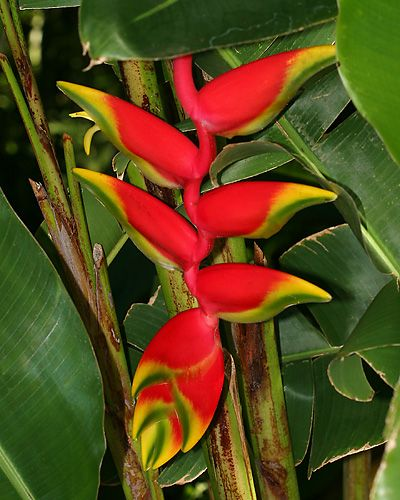 Heliconia Flowers Aka False Bird Of Paradise Hanging Heliconia Or Lobster Claw Trees To Plant Heliconia Heliconia Flower