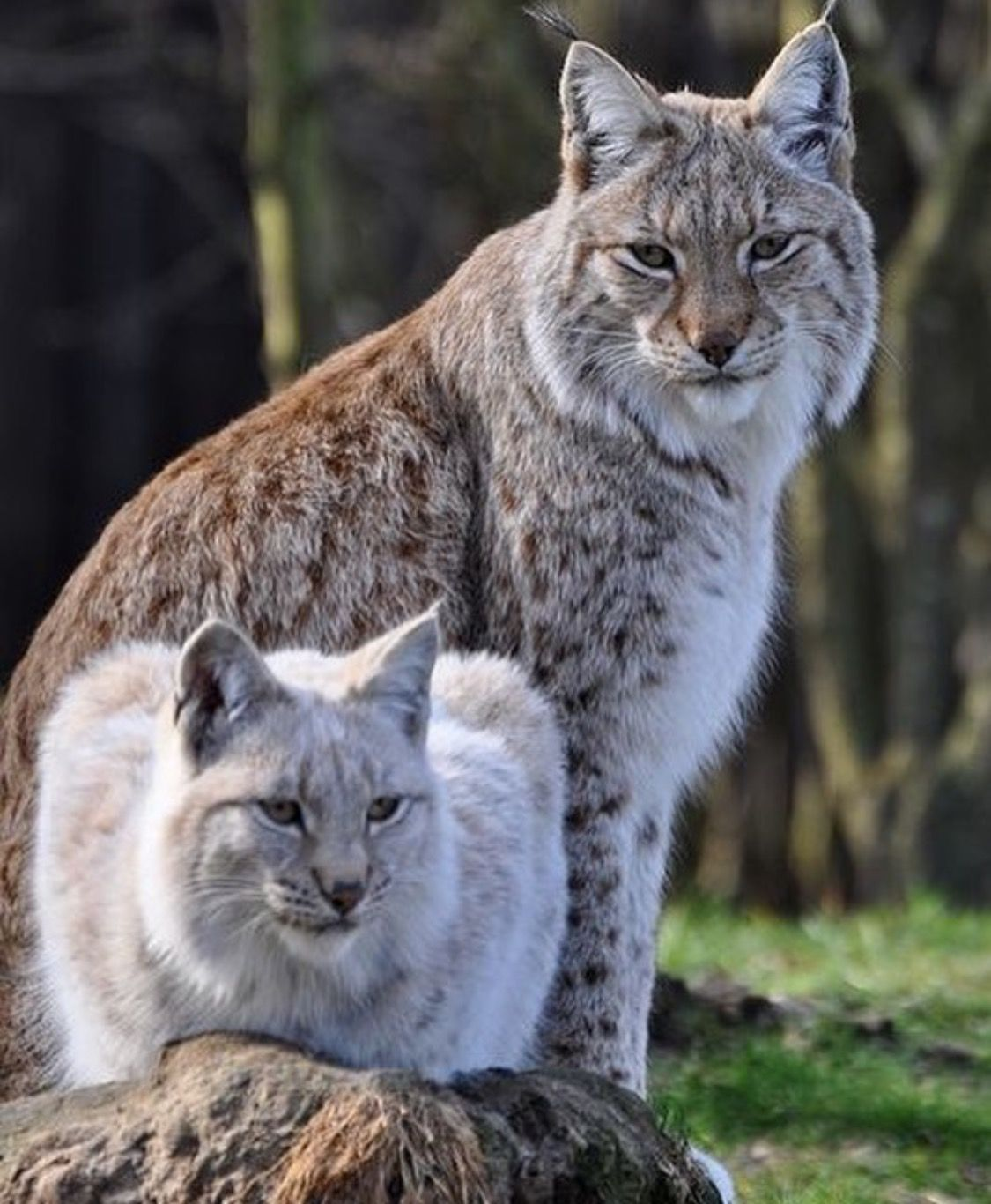 Pin by Beast on cats Eurasian lynx, Cats, Big cats