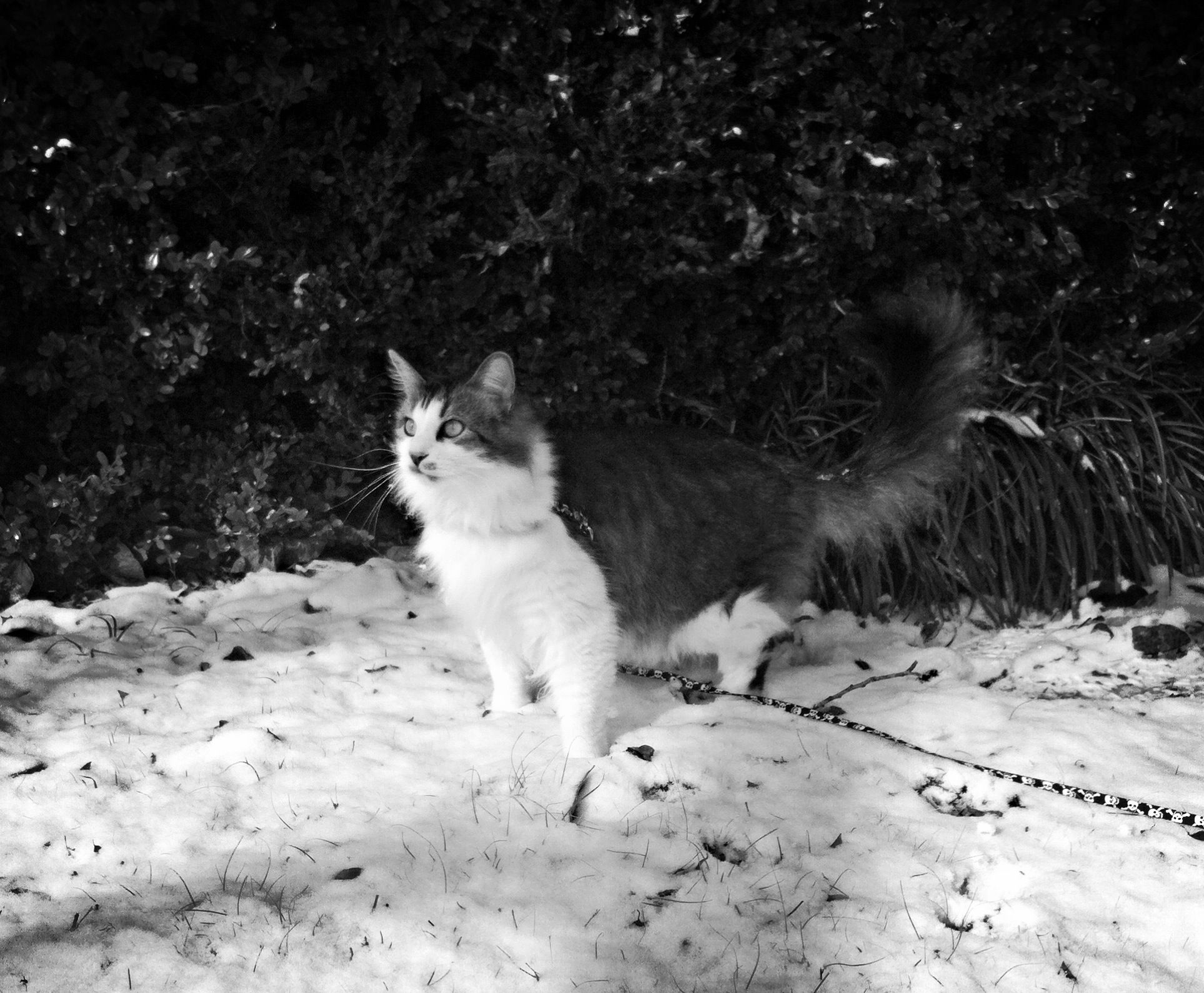 Zues playing in the snow. Maine Coon Cat