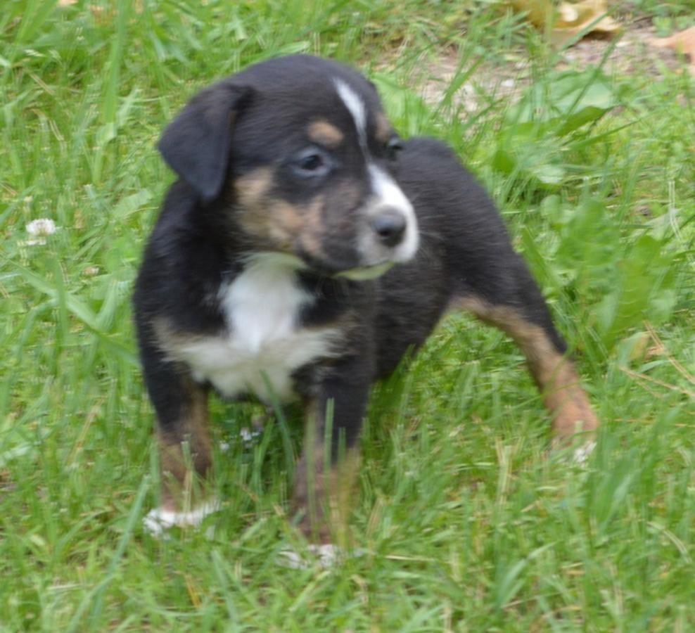 Rottweiler Husky Mixed Puppies in Grand Rapids, Michigan
