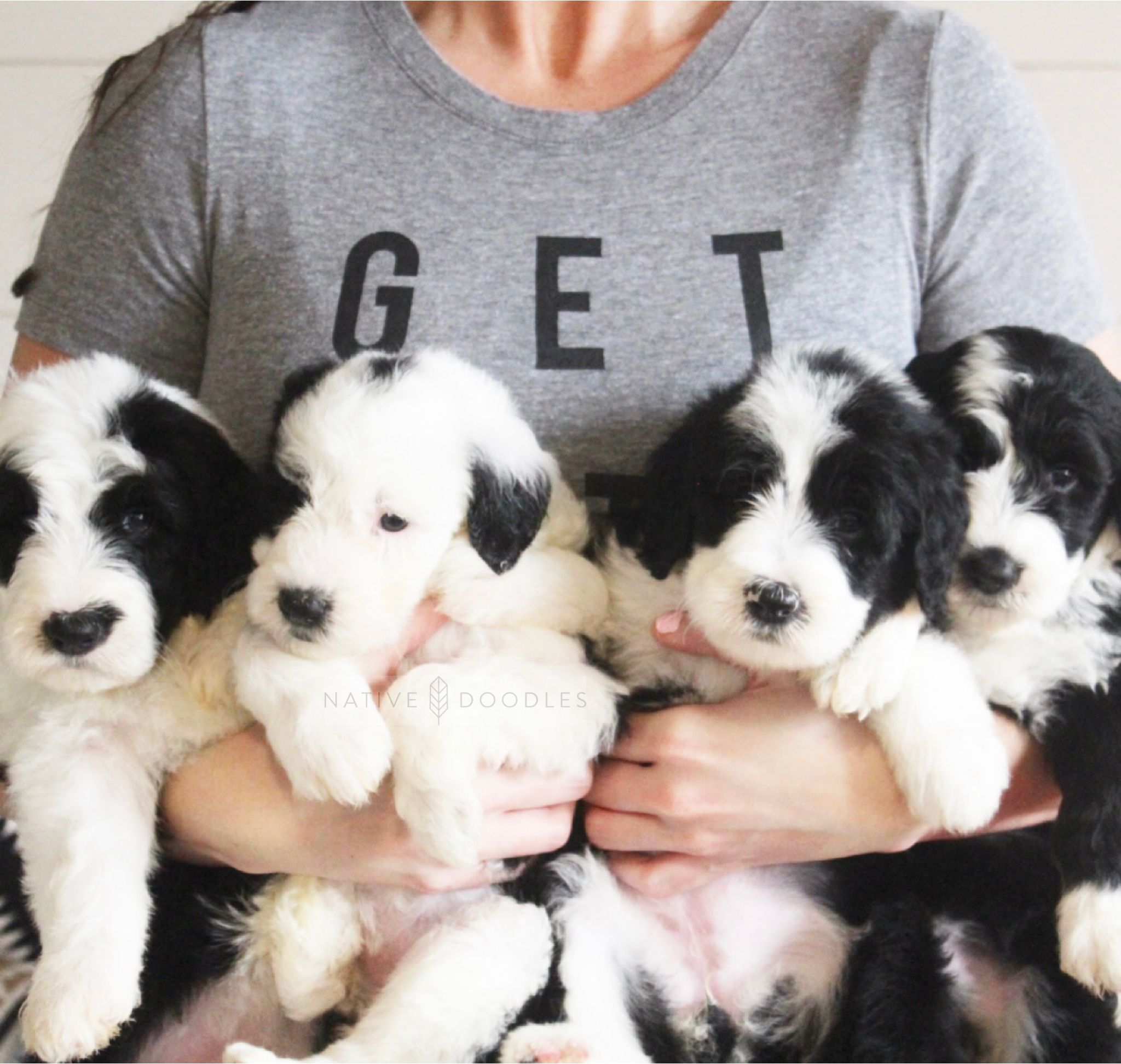 Standard Sheepadoodles From Native Doodles Sheepadoodle Puppy