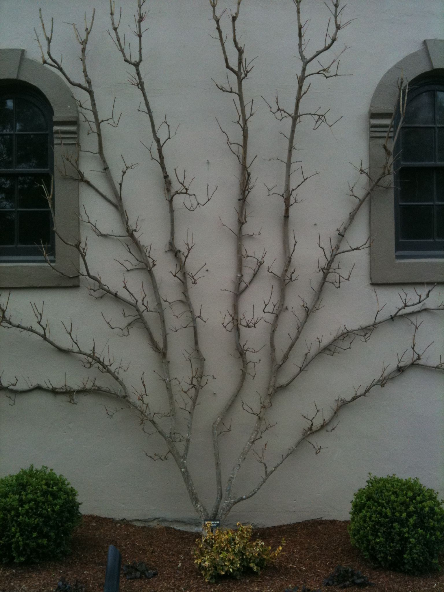 a lovely espalier winter time http www passionategardeners com