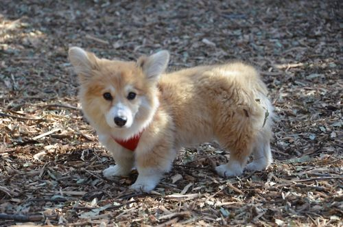 Download Wolf Chubby Adorable Dog - f67f1a609f6cf5d1351df43526953f91  Pictures_937848  .jpg