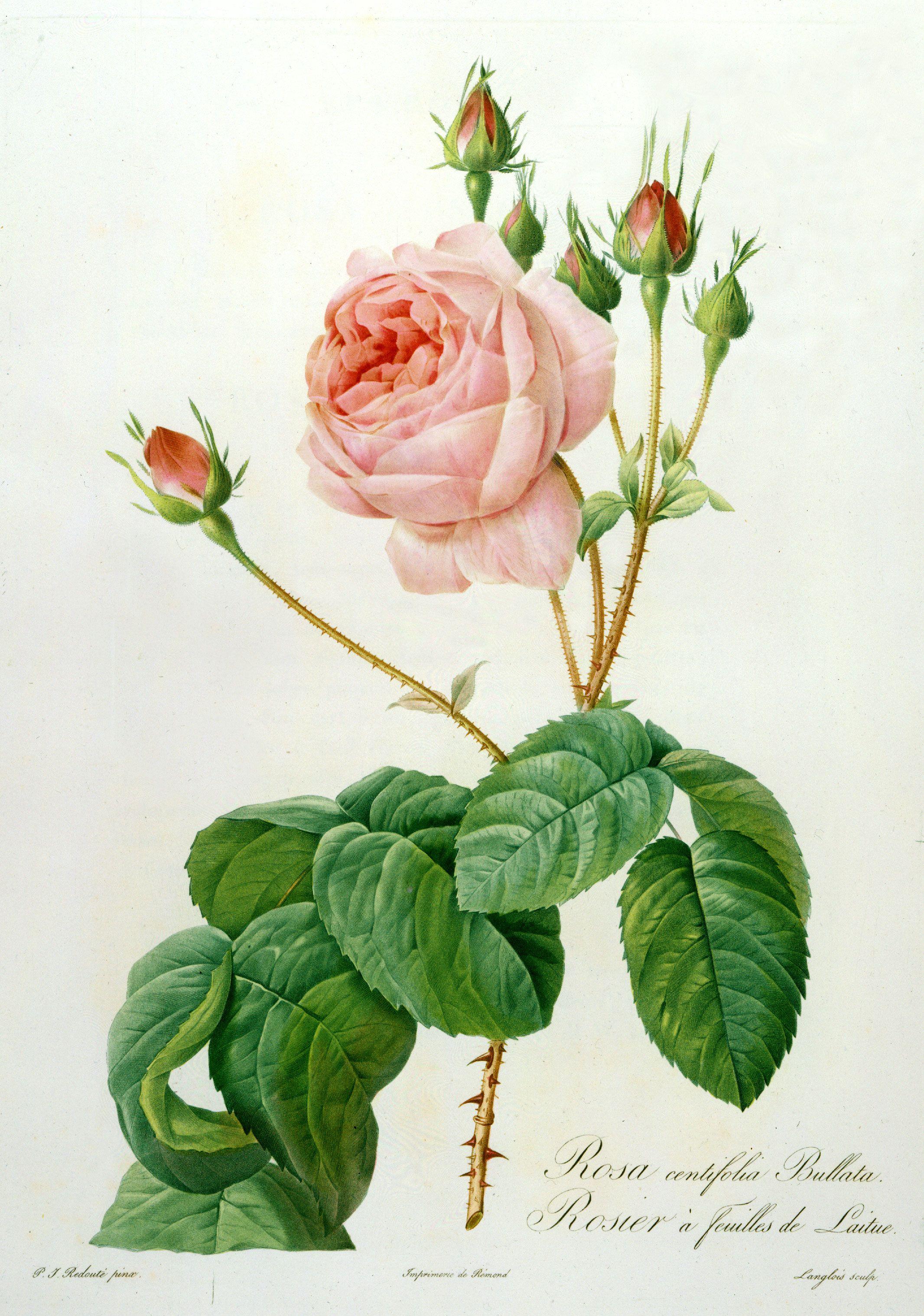 Les Roses Par P J Redoute Peintre De Fleurs Avec Le Texte