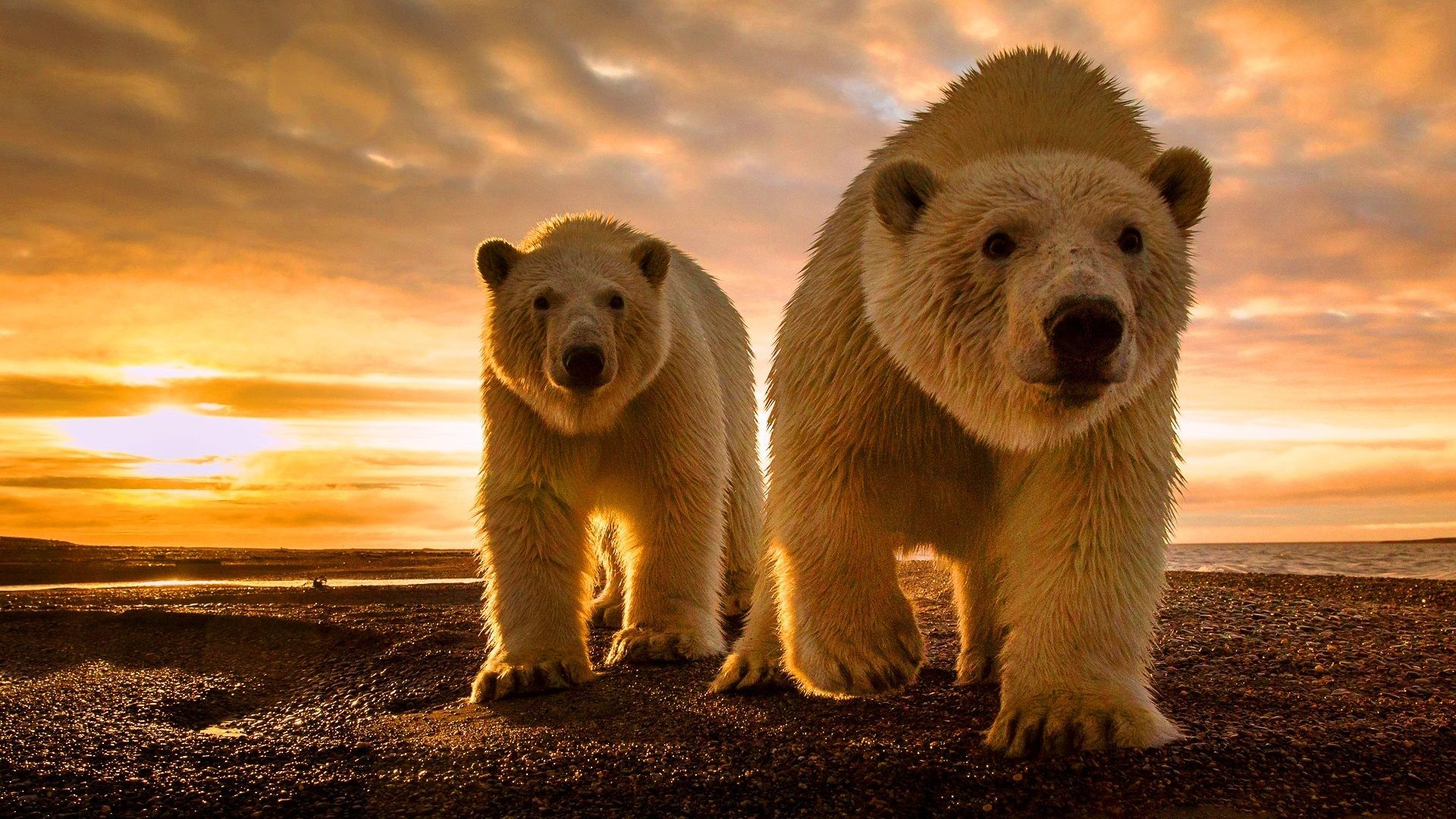 awesome pictures of grizzly bears pics pictures of grizzly bears