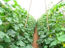 Resultado de imagem para plantar pepino